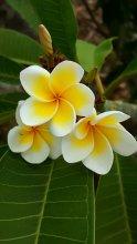 Sweetest smelling frangipani